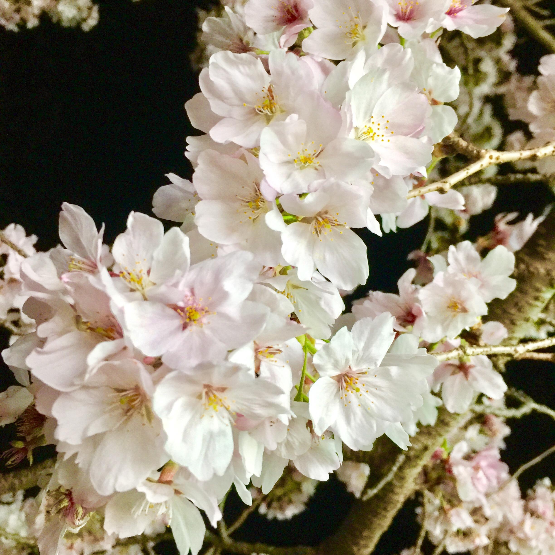 春といえば、、、( ˘ω˘ )